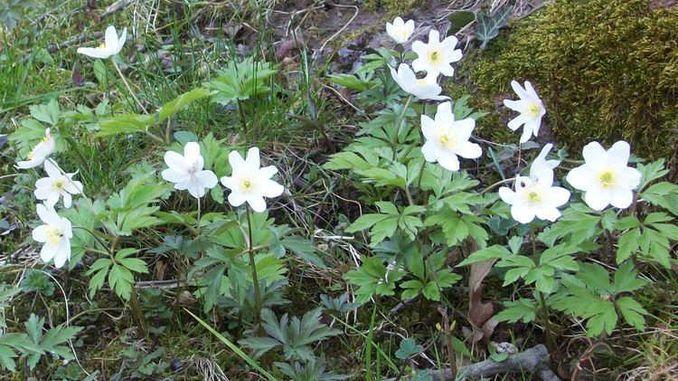 Siebengebirge naturaleza, flores, anemona nemorosa