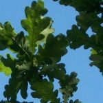 Siebengebirge naturaleza, arboles, roble común