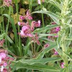 Siebengebirge naturaleza, flores, silena dioica
