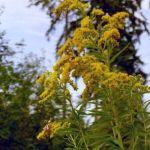 Siebengebirge naturaleza, flores, solidago