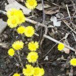 Siebengebirge naturaleza, flores, tusilago