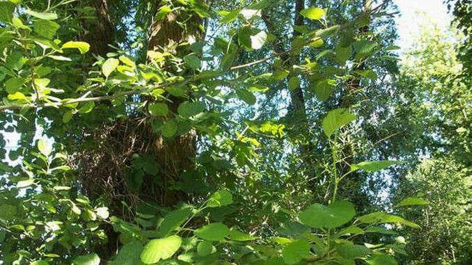 678px_arbres_riverains