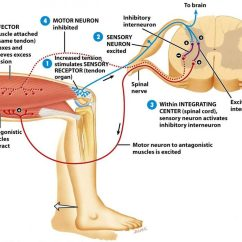 Diagram Of A Simple Reflex Arc Intermediate Switch Wiring Patellar Baroreceptor