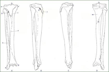 A : aspect antérieur / B : profil latéral / C : profil