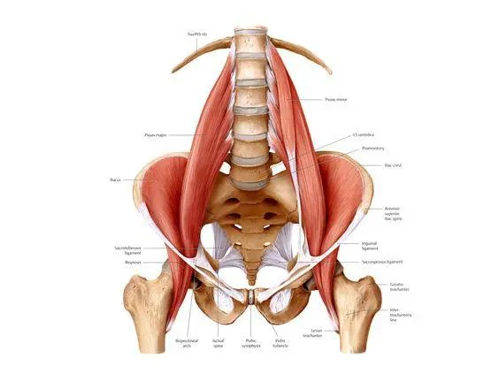 Blog Image  Psoas Muscle
