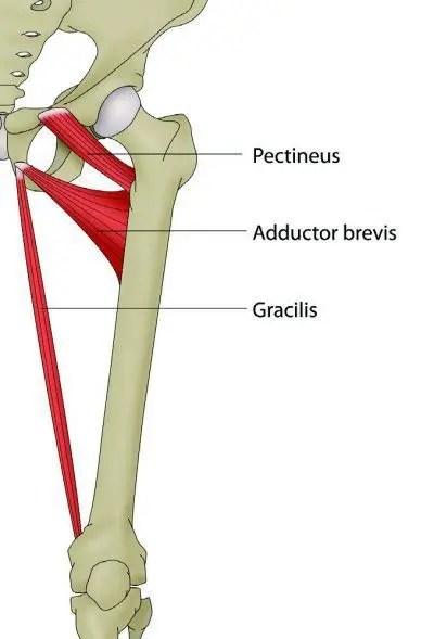Aductor Anatomía del diagrama ramas púbicas - El Paso Quiropráctico