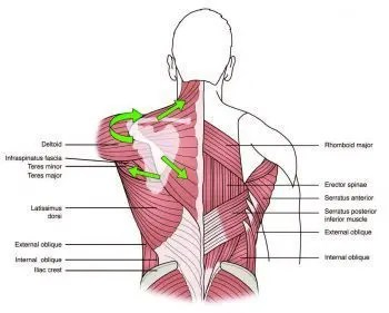 Anatomical Lines of Action for the Trapezius - El Paso Chiropractor