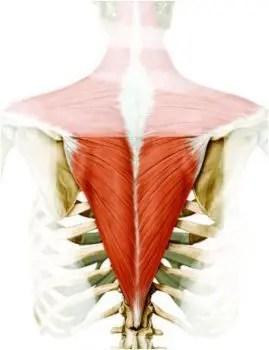 Anatomía del trapecio inferior