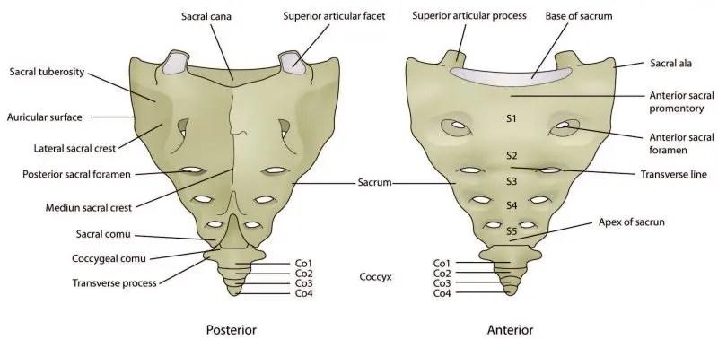 Estructura del diagrama hueso sacro - El Paso Quiropráctico