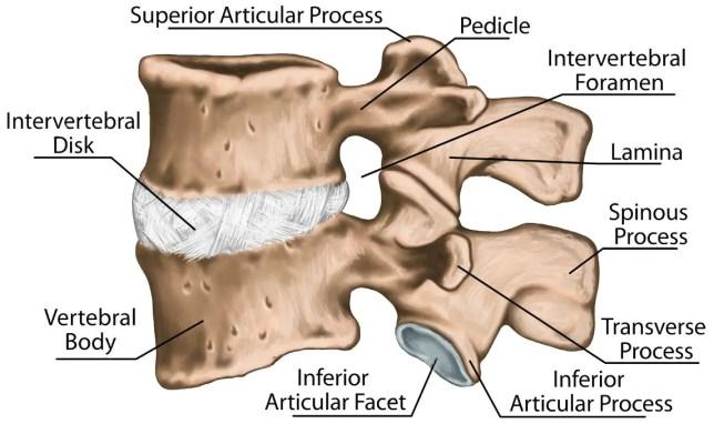 tercera y cuarta vértebras lumbares vértebra lumbar columna lumbar hueso vertebral
