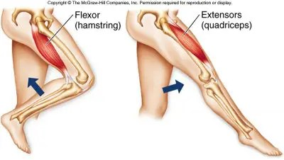 Hamstring Function - El Paso Chiropractor