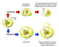 Obat fungsional apoptosis nekrosis