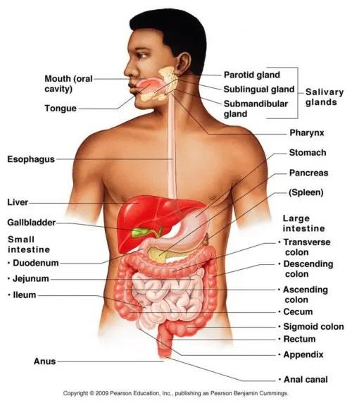 Digestive-System-Anatomy-Diagram-e1514925079624.jpg