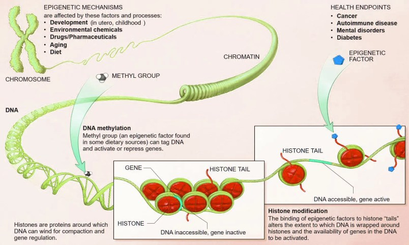 Epigenética nutricional el paso tx.