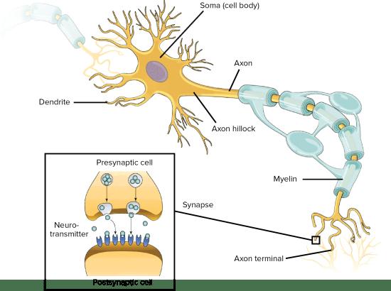 Diagrama de neurona   El Paso, TX Quiropráctico