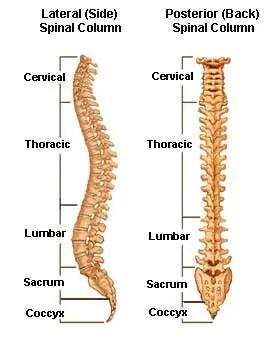 11860 Vista Del Sol, Ste. 128 The Spinal/Vertebral Column