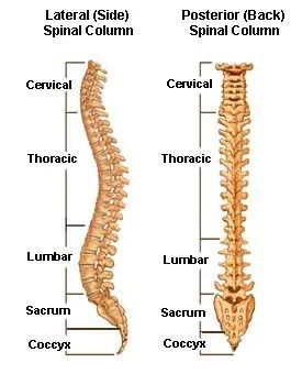11860 Vista Del Sol, Ste. 128 The Spinal/Vertebral Column