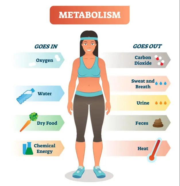 11860 Vista Del Sol, Ste. 128 The Body's Metabolism and Body Composition