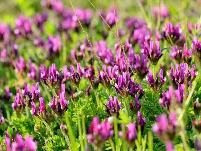 Telomer ustası : GEVEN OTU ( Astragalus membraneceous )   devam edecek, daha bitmedi….