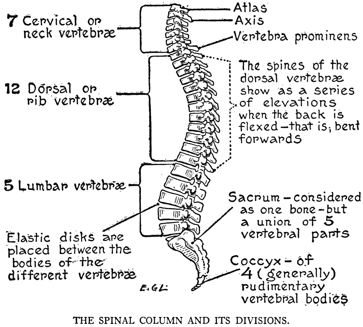 labeled diagram of spinal column free ford navigation dvd update practicalartanat00lutz 0029