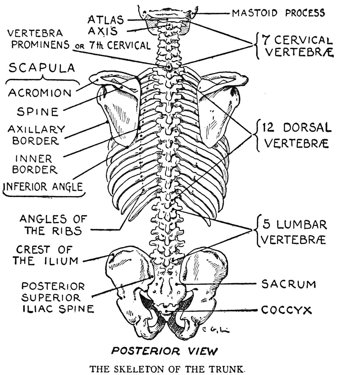 Thoracic Spine Diagram