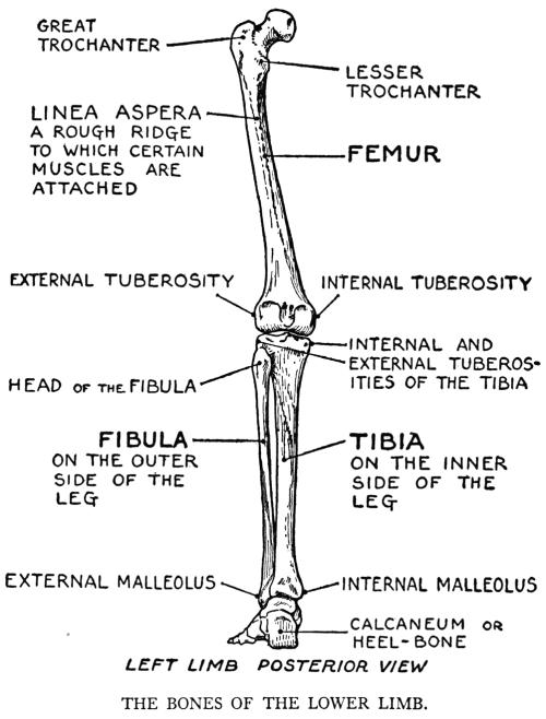 small resolution of human leg bone diagram