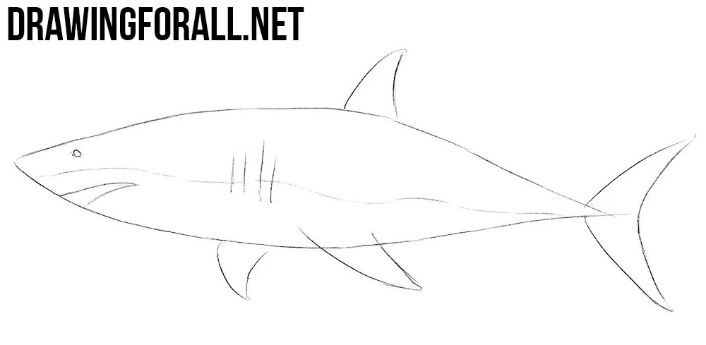 How to Draw a Shark  Drawingforallnet