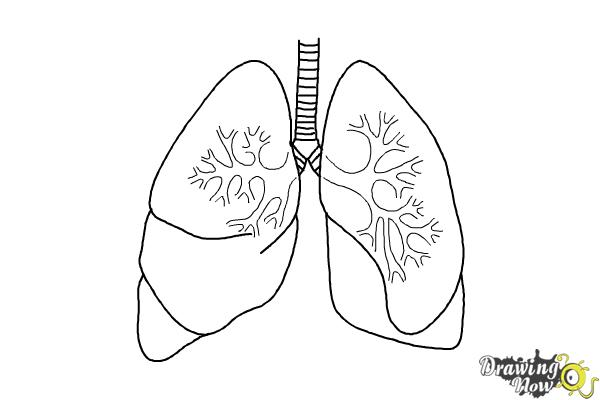 simple diagram of heart and lungs
