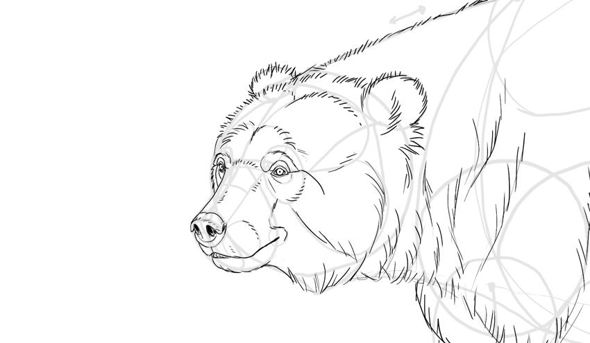 Oso Grizzly Para Colorear Dibujos Oso Pardo Para Colorear Auto