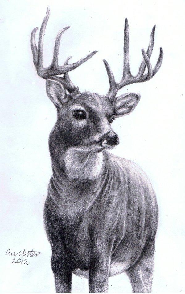 Realistic Deer Pencil Drawings