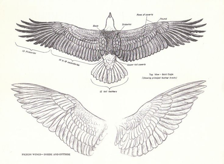 eagle wing diagram 2016 jeep jk radio wiring simple schema drawing pencil sketch colorful realistic art images puffin
