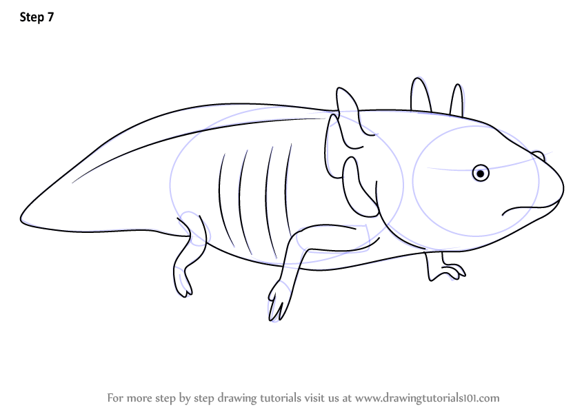 Learn How to Draw a Axolotl (Amphibians) Step by Step
