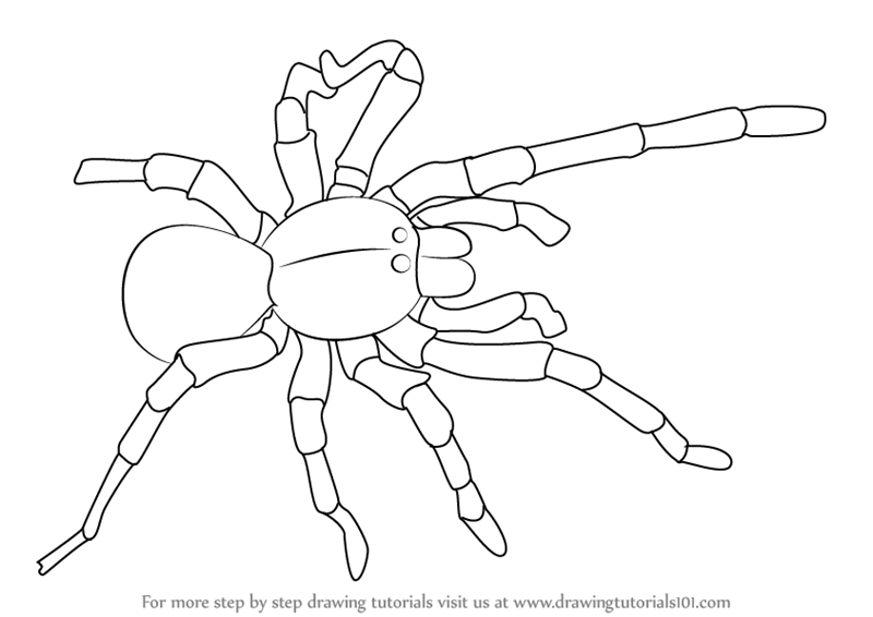 Learn How to Draw a Goliath birdeater (Arachnids) Step by