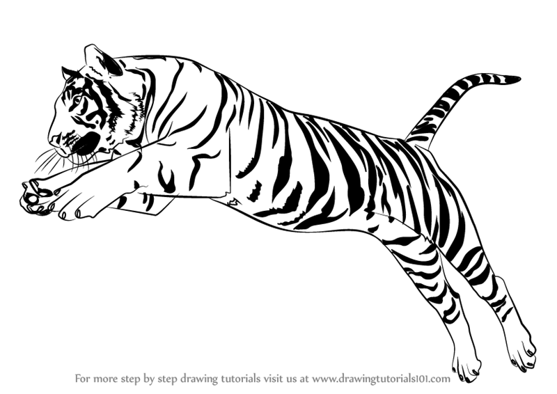 How to Draw a Tiger Jumping Video : DrawingTutorials101.com