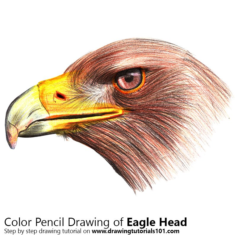 Eagle Head Colored Pencils - Drawing Eagle Head with Color ...