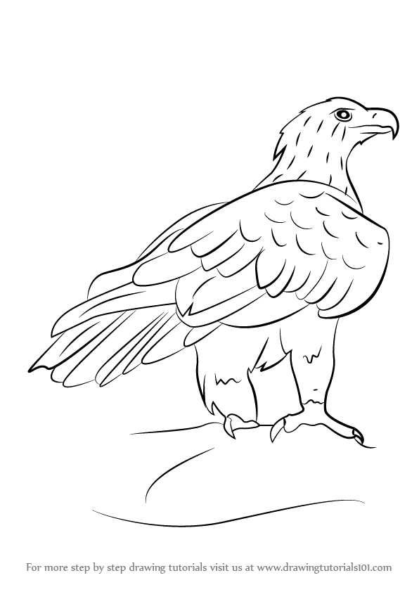 Learn How to Draw a Wedge-Tailed Eagle (Bird of prey) Step