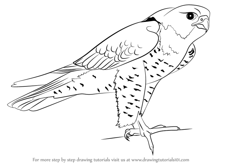 Learn How to Draw a Peregrine Falcon (Bird of prey) Step