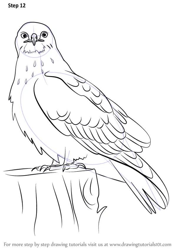 Learn How to Draw a Rough-Legged Hawk (Bird of prey) Step