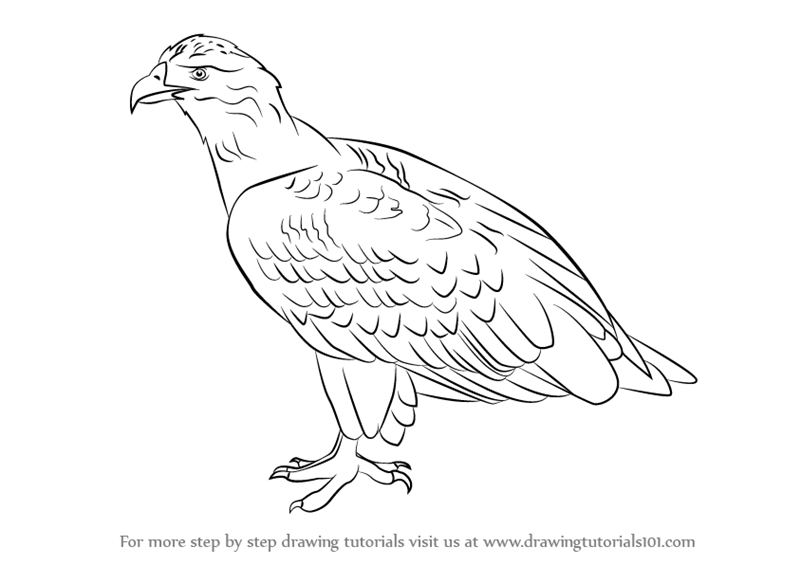 Learn How to Draw a White-Tailed Eagle (Bird of prey) Step