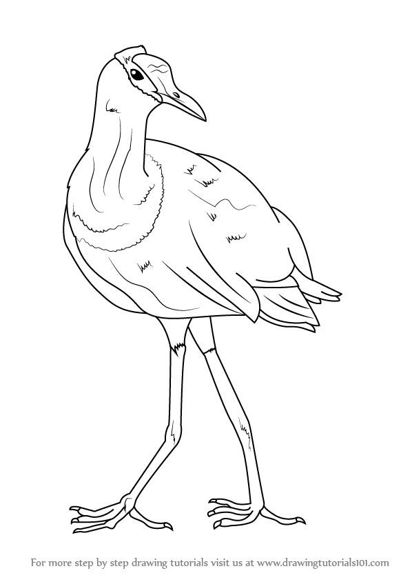 Learn How to Draw an African Jacana (Birds) Step by Step