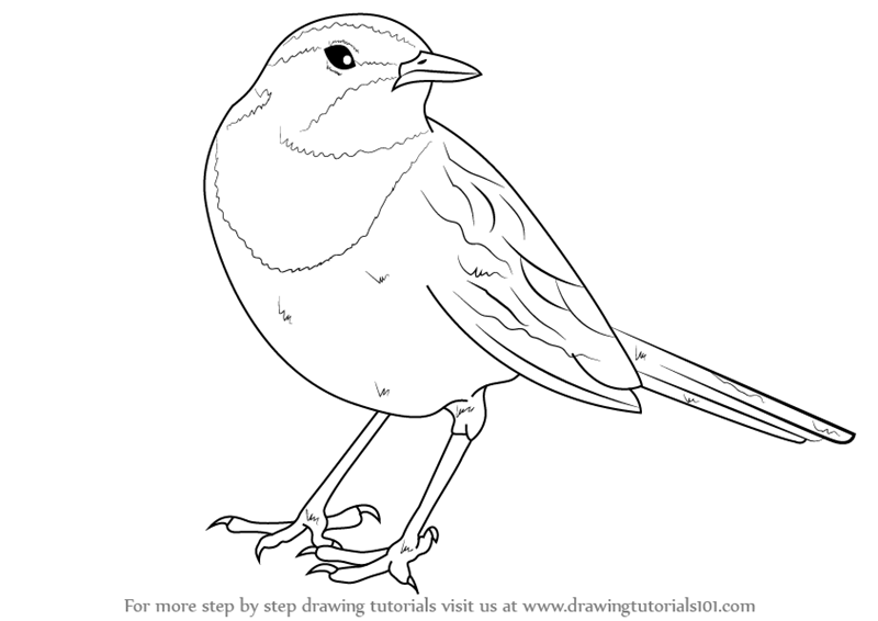 Learn How to Draw an African pied wagtail (Birds) Step by