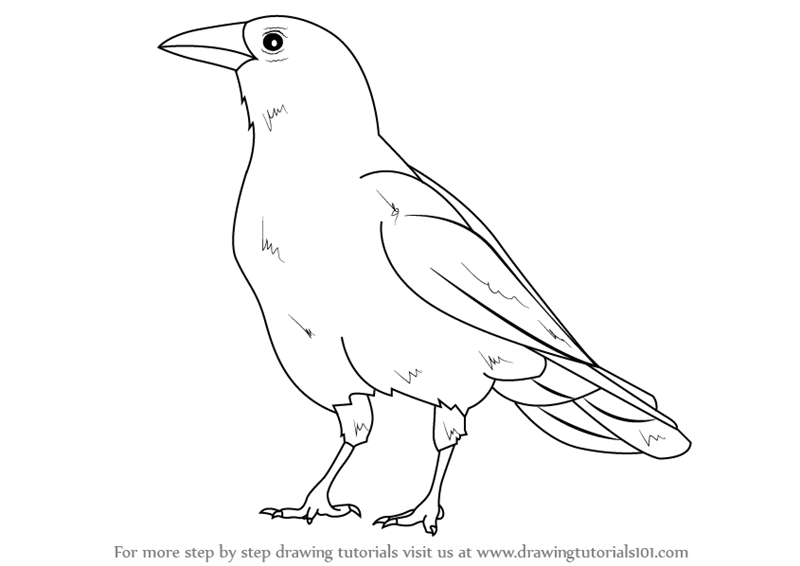 Learn How to Draw an American Crow (Birds) Step by Step