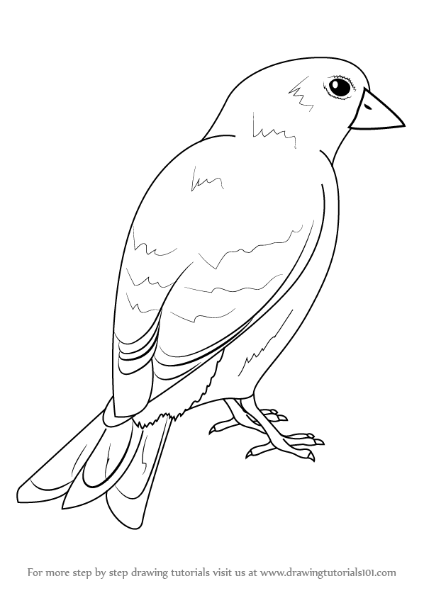 Learn How to Draw an American Goldfinch (Birds) Step by
