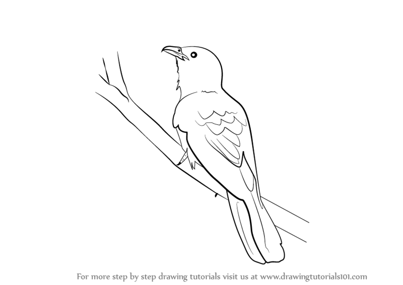 Step by Step How to Draw a Asian Koel