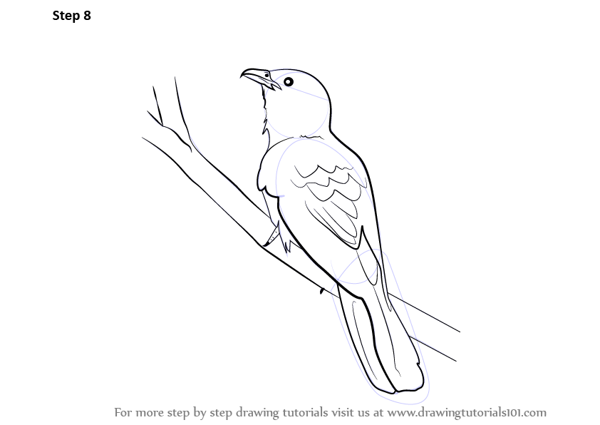 Learn How to Draw a Asian Koel (Birds) Step by Step