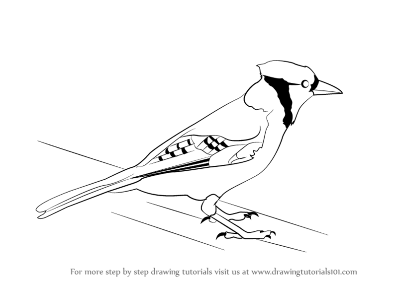Learn How to Draw a Blue Jay (Birds) Step by Step