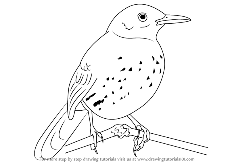 Learn How to Draw a Brown Thrasher (Birds) Step by Step