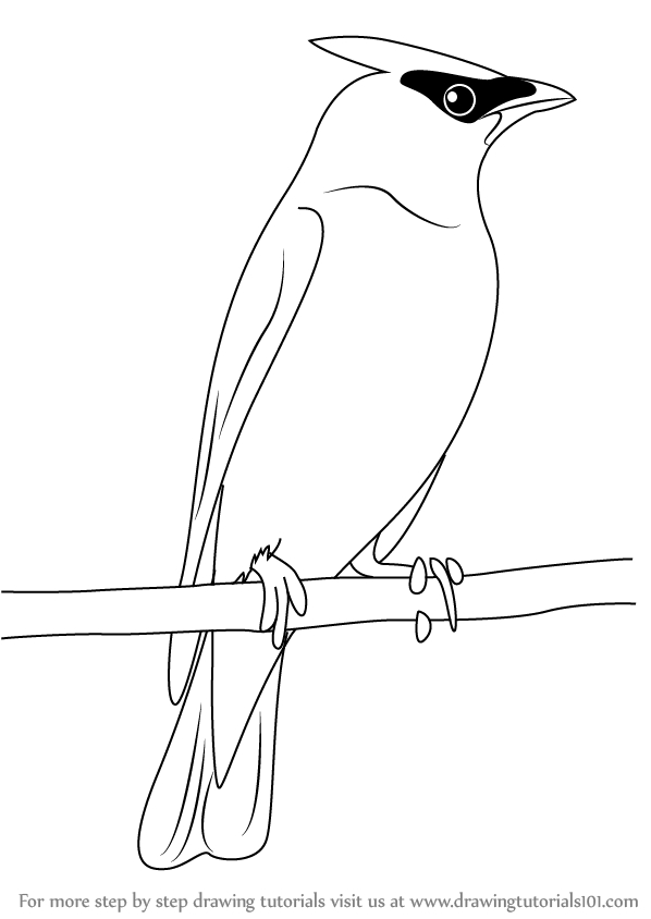 Learn How to Draw a Cedar Waxwing (Birds) Step by Step