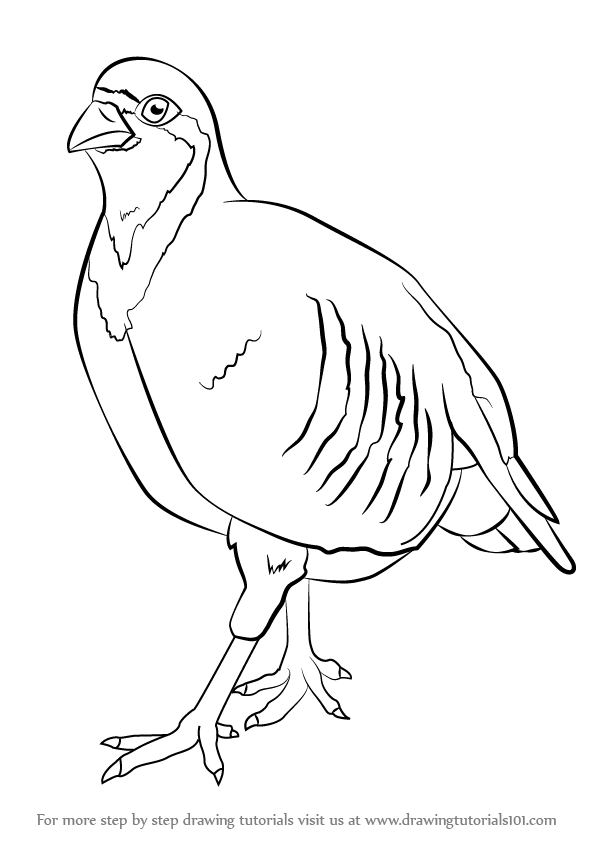 Learn How to Draw a Chukar (Birds) Step by Step : Drawing