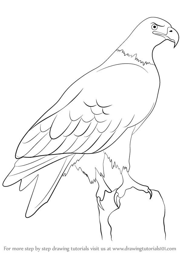 Step by Step How to Draw a Eagle : DrawingTutorials101.com